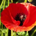 Large_Red_Poppy
