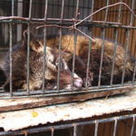 300px-luwak_civet_cat_in_cage