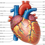 Heart-Anatomy